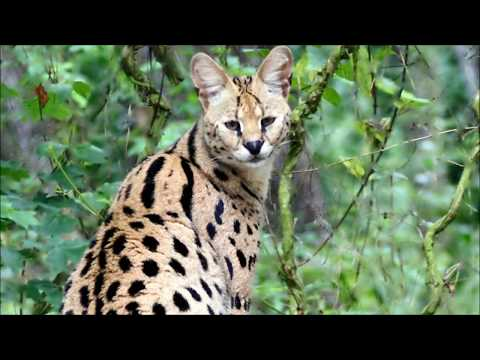 Why servals make bad pets