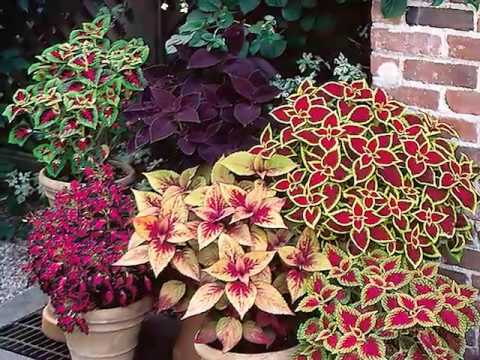 Get to Know Coleus - Shade-Loving Plants