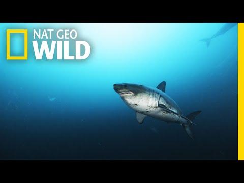 Alaska's Deadly Sharks | Alaska's Deadliest