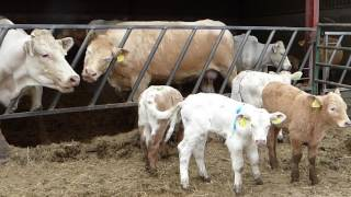 Cows and calves turnout  with farm cat and Red Kite (DOTF Series 3, Episode 2)