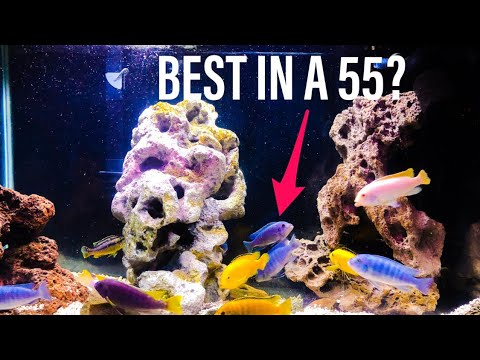 African Cichlids in a 55 Gallon Tank