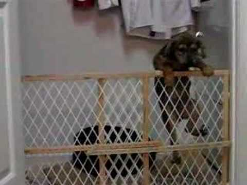 puppy jumps over his gate