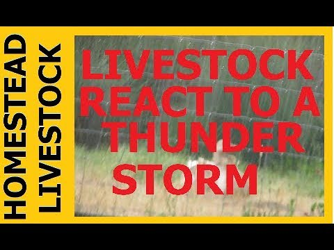 HOMESTEAD LIVESTOCK -  Livestock Reacting To A Thunderstorm