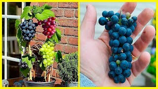 How To Grow Grapes In Your Own Backyard - It