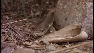 Cobra VS Mangrove Snake , The Winner ?