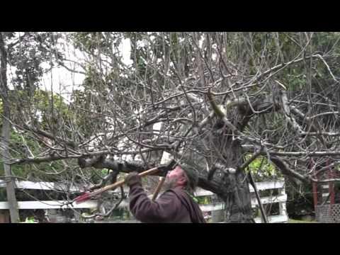 Apple Pruning 2015