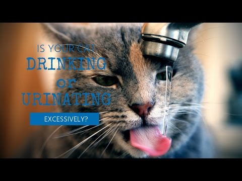 Cat Drinking or Urinating Too Much?