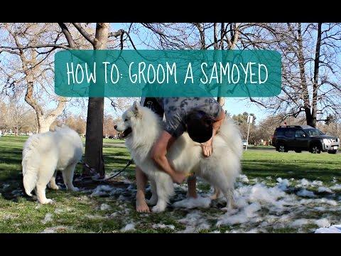How I Groom My Samoyeds (How To: Dog Grooming)