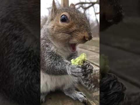 Avocado Squirrel