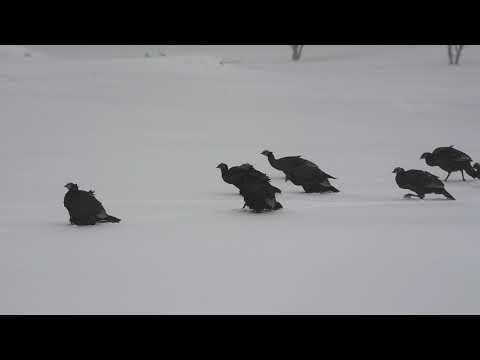 North American Wild Turkeys Surviving in Deep Snow a True Hardship circa 30% won't make it