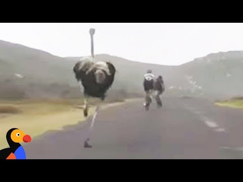 Ostrich Chasing Bikers While Friend Hilariously Films | The Dodo