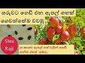 Download සරුවට ගෙඩි හැදෙන ඇපල් ගහක් ගෙවත්තෙම වවමු - ලංකාවෙ ඇපල් වවන රහස් සමග - Growing fruit full apple plant MP3,3GP,MP4