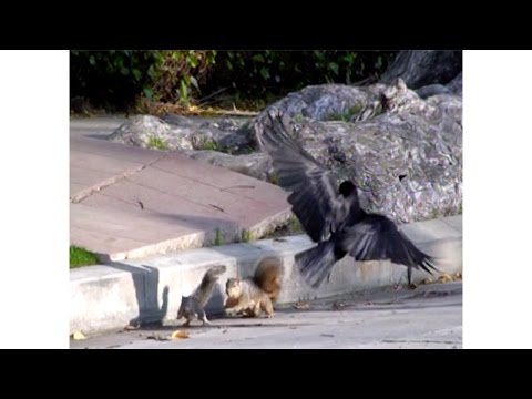 Confused Baby Squirrel Attacked By Crows - Mama Squirrel Try's to Saves Baby