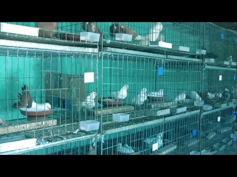 World Best Commercial Pigeon Farm || Interesting and Profitable Fancy Dove Farm Business