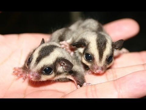 Sugar gliders for sale? PETA protests Pocket Pets and CBL