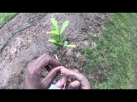 Baby Oak Trees