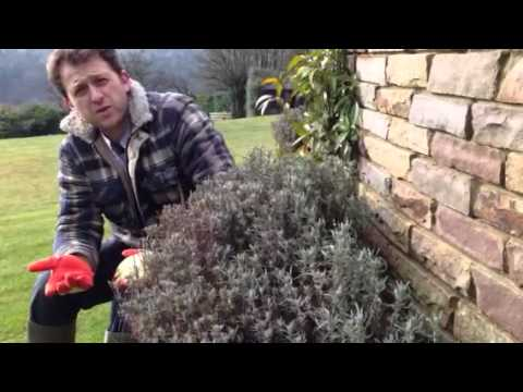 Gardening tips, Hampshire, UK- cutting back lavender