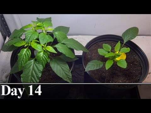 Pepper Plant Pruning Comparison, Day 14