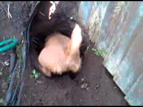 dog digging fence post holes