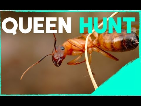 Going Queen Ant Hunting!