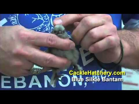 Blue Silkie Bantam Chicken Breed For Sale | Cackle Hatchery