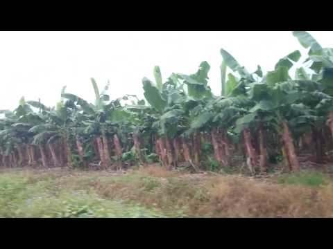 Perkebunan pisang cavendis terbesar