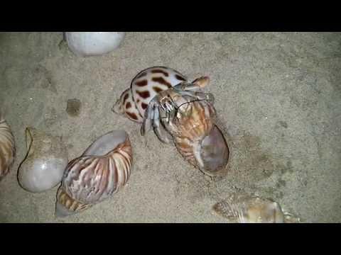 Land Hermit Crab changing shells