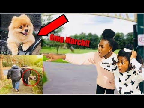 WE FOUND MARCH POM From Familia Diamond Missing Puppy!   Its Minai
