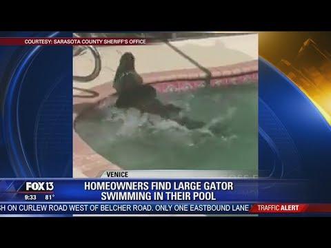 Large alligator takes swim in Florida pool