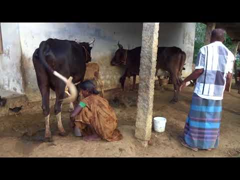 Most Oddly Satisfying Video Village Life Pure Cow Milk Export