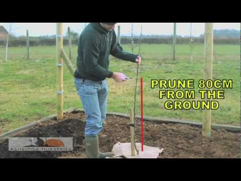 5 - Pruning a 1 year old maiden fruit tree for a bush sized adult tree