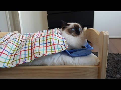 IKEA Life hack: a Ragdoll cat bed
