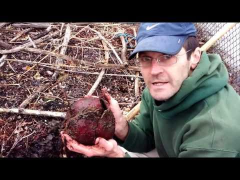 Mid-Winter Garden Harvest Huge Beets 6