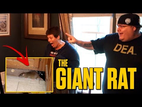 ATTACKED BY A GIANT RAT!!
