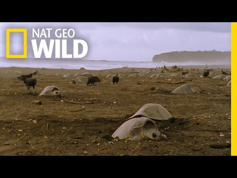 Sea Turtle Nesting Grounds | Wild Costa Rica