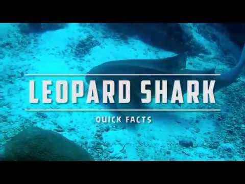 Leopard Shark Info