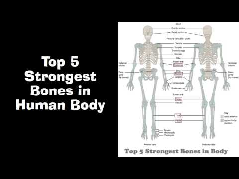 Top 5 Strongest Bones in Human Body