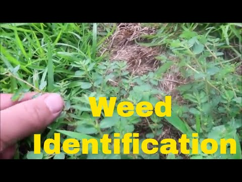 Weed Identification in Summer - Identify Crabgrass, Dallisgrass, Nutsedge, Spurge and More