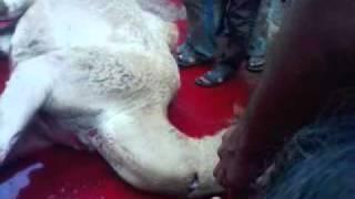 Oont (CAMEL) ki Qurbani by (ATIF)