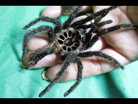 How To:  What do I do when my spider Molts?