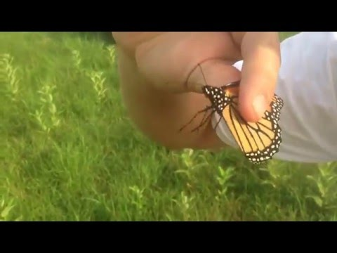 Catching Wild Monarch Butterfly by Hand Part 1