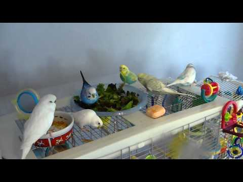 Budgies Eating Lettuce and Playing