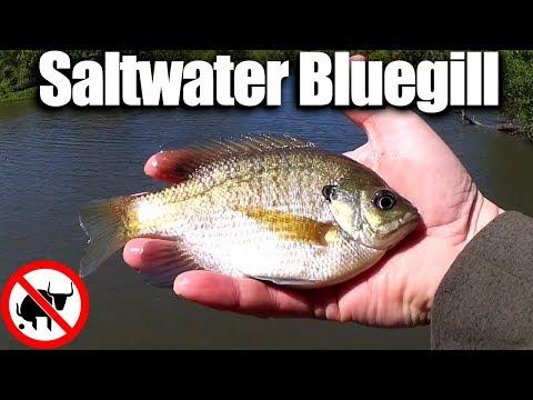 Saltwater Bluegill & Catfish? Fishing with Shrimp In Brackish Water