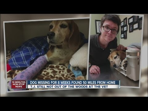 Beagle Dog Missing for Weeks Found 50 Miles From Home