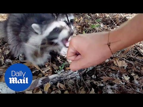 'I'm gonna get rabies!' Scary moment wild raccoons attack - Daily Mail