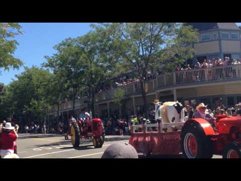 Cattle Drive In Pleasanton! Alameda County Fair