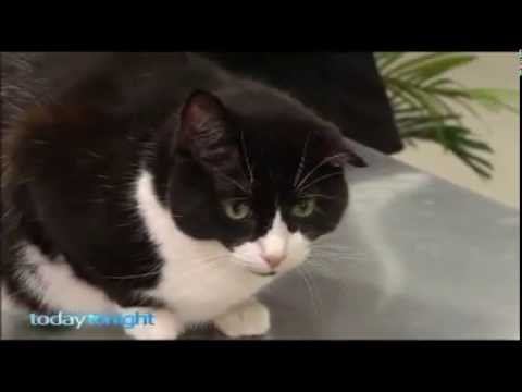 Perth Cat Vets on Today Tonight with Cauliflower the rescue cat