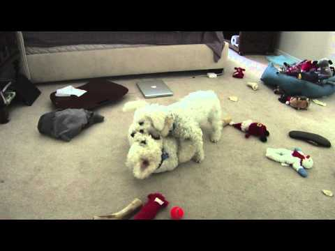 Bichon Frise Dogs Play Fighting