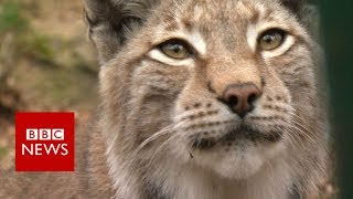 Will wildcat lynx be reintroduced to the UK? - BBC News