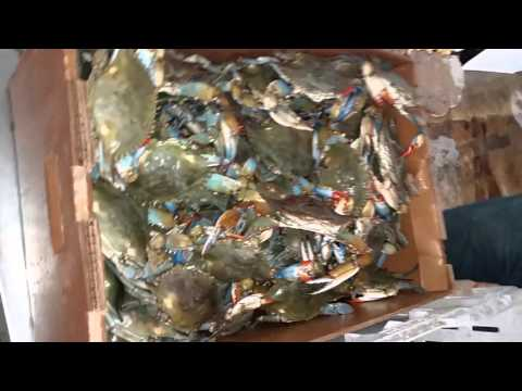 Live blue crabs packing to air ship
